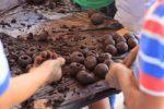 Em Crato, produção de bombas de sementes é realizada pela Saaec em parceria com a guarda municipal