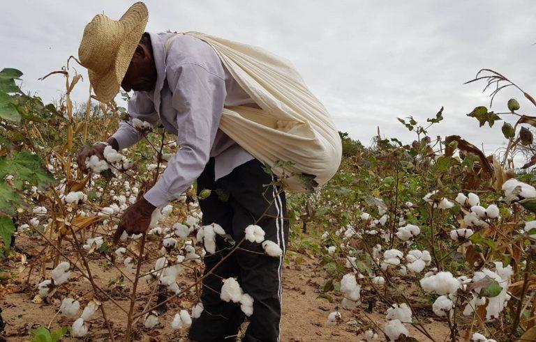 VÁRZEA ALEGRE Secretaria de agricultura, trabalha o método do vazio sanitário para combater o bicudo.