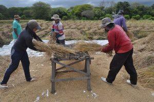 Produtores contemplados com o PROARA resgatam o cultivo do arroz em terras cratenses