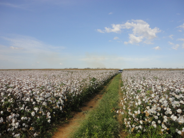 Durante a capacitação, os produtores de algodão vão conhecer novas tecnologias que prometem deixar a cultura mais forte no estado