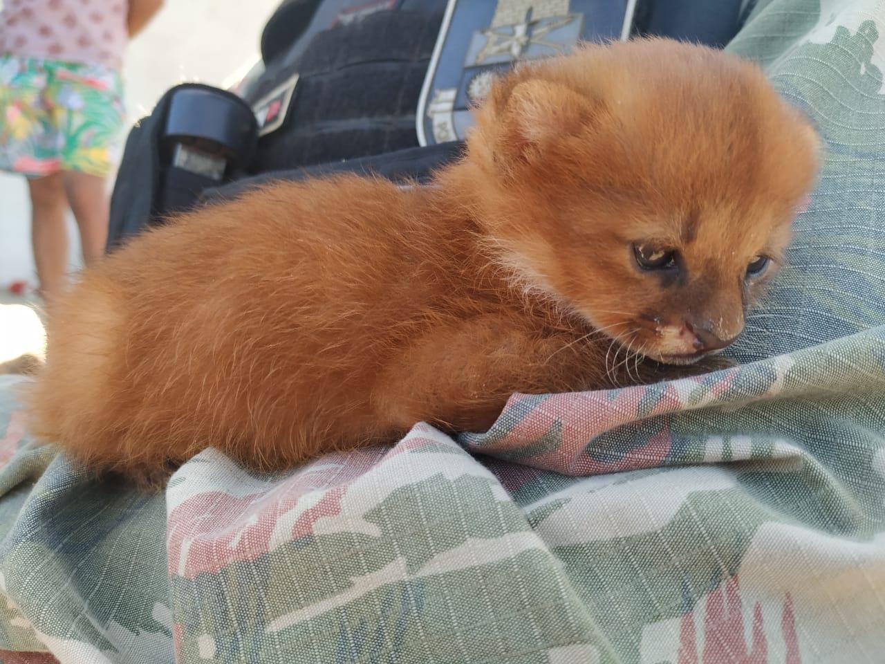 Raro e em extinção, filhote de gato-mourisco é capturado na zona rural de Milagres FOTO REDES SOCIAIS