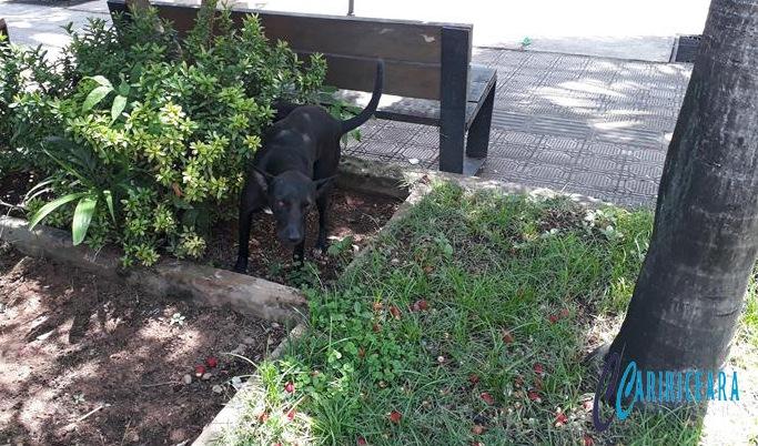 Cachorro soltos nas ruas Foto Jota Lopes_Agência Caririceara.com