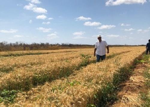 planta trigo FORTO DIVULGAÇÃO